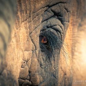 Auge des Elefanten