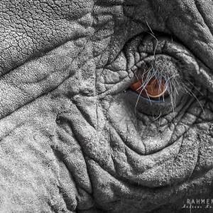 eye of the elefant
