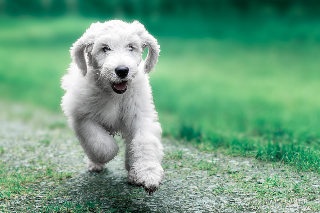 Goldendoodle-Welpe Abby
