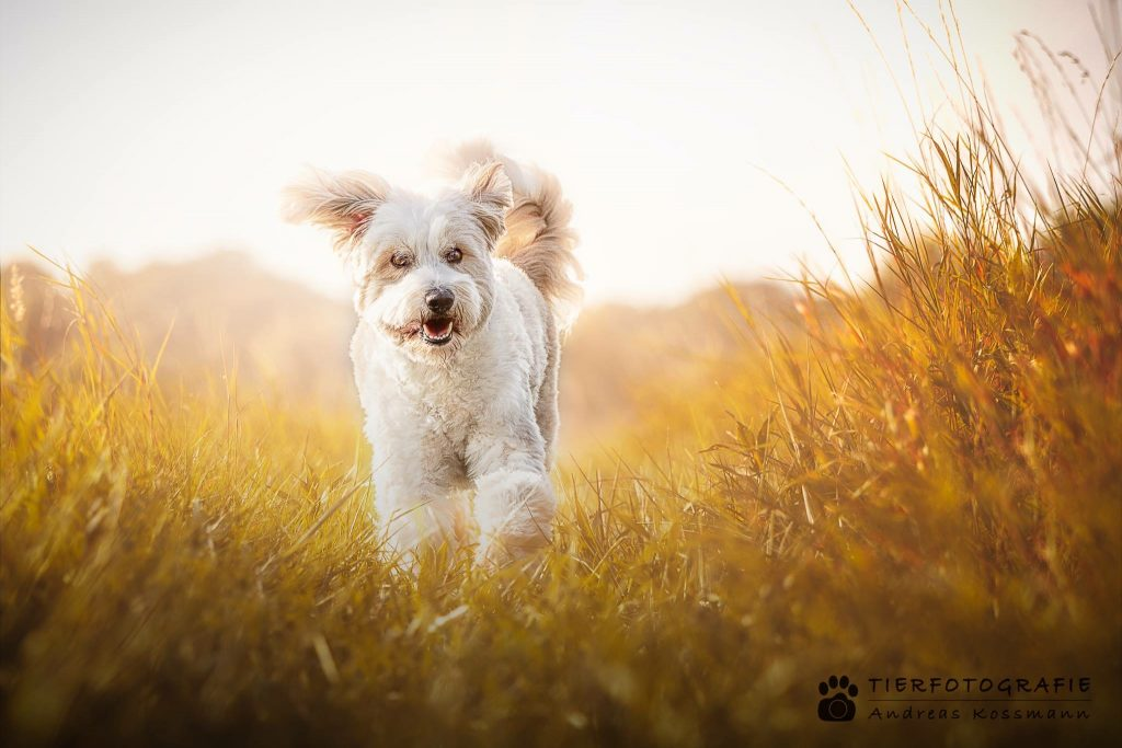 Tibet Terrier TEDDY