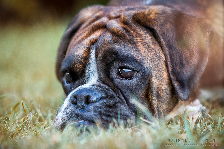 Portrait von einem Boxer